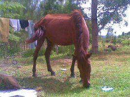 ม้าพันธุ์ไทย